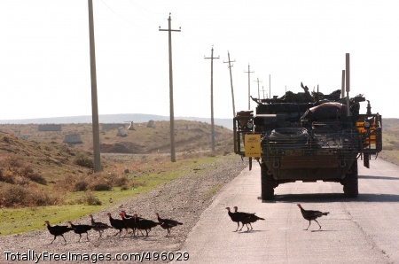 Turkish Turkeys? Soldiers from the 3rd Stryker Brigade Combat Team, 2nd Infantry Division stop for a line of turkeys crossing the road in Mosul, Iraq, Nov. 3, not far from the Turkish border where the gobblers may have originated. Photo Credit: Nov 22, 2006
