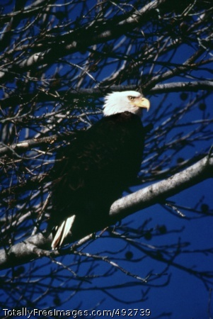 Army Efforts The Bald Eagle is found on or near 58 Army installations in the continental United States.    Photo Credit: Jun 28, 2007